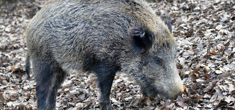 Afrikanische Schweinepest auf dem Vormarsch
