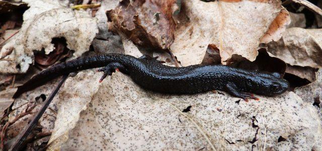 Krötenwanderung beginnt – Milde Temperaturen locken Amphibien aus den Winterquartieren